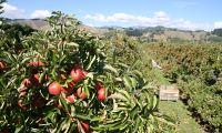 Sběr jablek